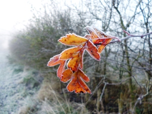 One of the last few hawthorn leaves clinging on for dear life - and an utterly gorgeous colour it is as well!