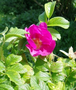Japanese Rose, or Rosa rugosa