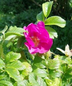 Japanese Rose, or Rosa rugosa