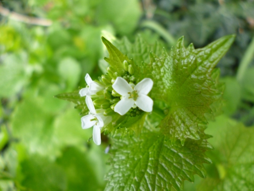 Jack by the Hedge (Alliaria petiolata) which is just beginning to flower here in the Wolds.