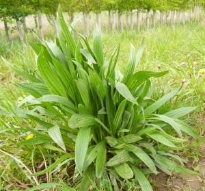 Plantain (Plantago lanceolata)