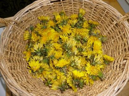 Dandelion flowers ready for preparing.