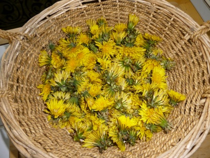 Dandelion flowers ready for preparing.