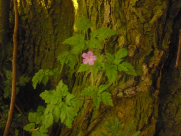 Herb Robert growing in the shade, leaning companionably against a linden tree trunk.