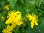 Midsummer Herbs – St John's Wort