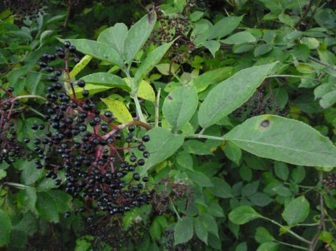 Elderberries on one of the local trees.