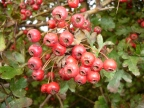 More Tasty Things – Hawthorn Ketchup