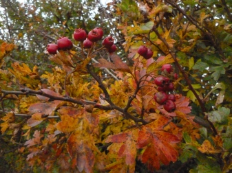 Hawthorn on jewel coloured boughs.  I love the colours they go at this time of year!