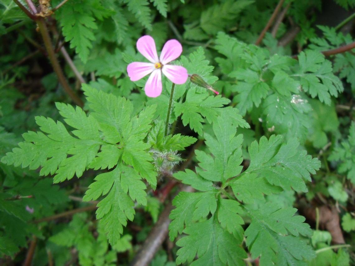 geranium robertianum 2.jpg