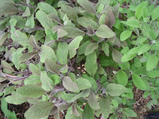 salvia officinalis.jpg