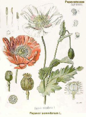 opium-poppy