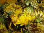 Dandelion Flower Balm for Sore Muscles