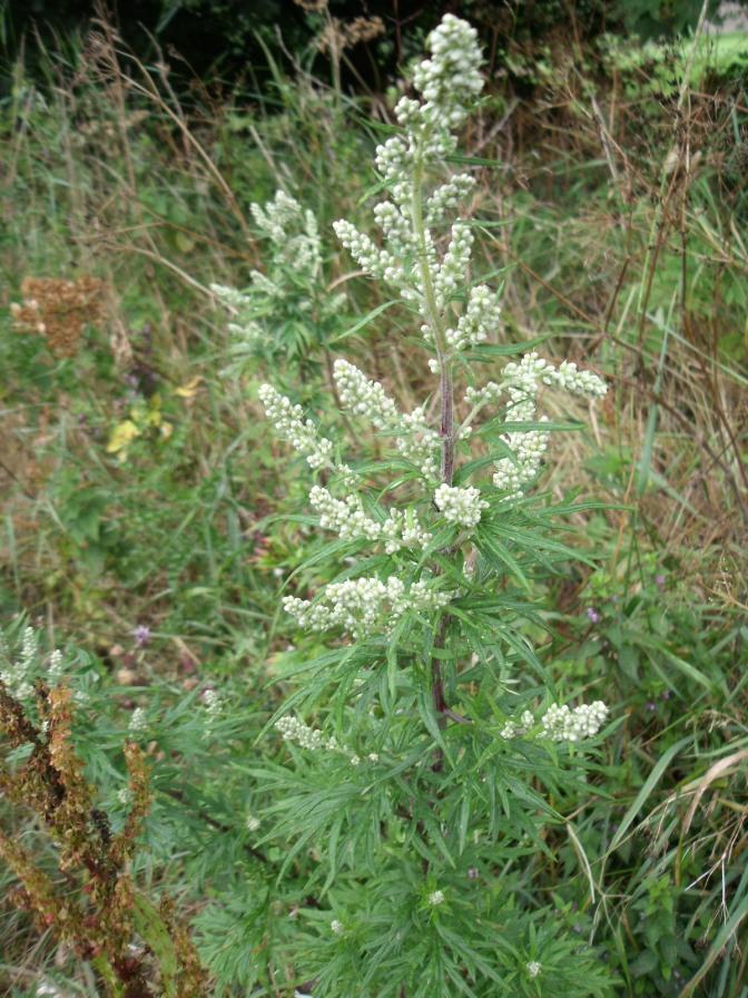 artemisia vulgaris 5.jpg