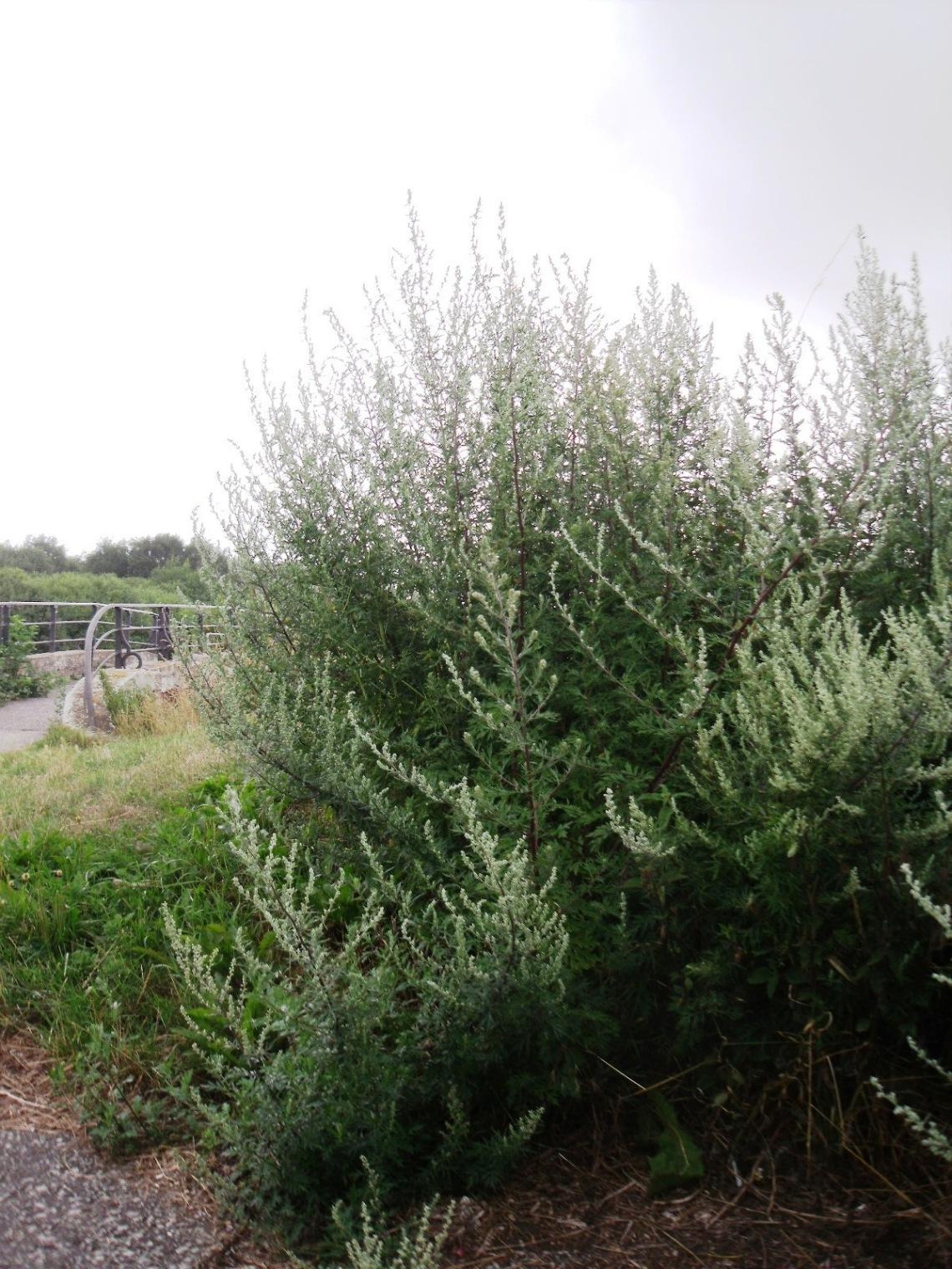 artemisia vulgaris 8.jpg